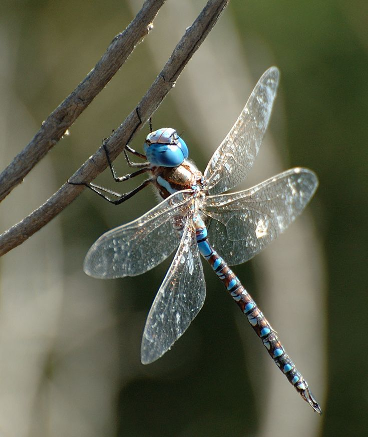 colorful pictures of dragon flies | ... on the segmented tail. The head also has an excellent color scheme