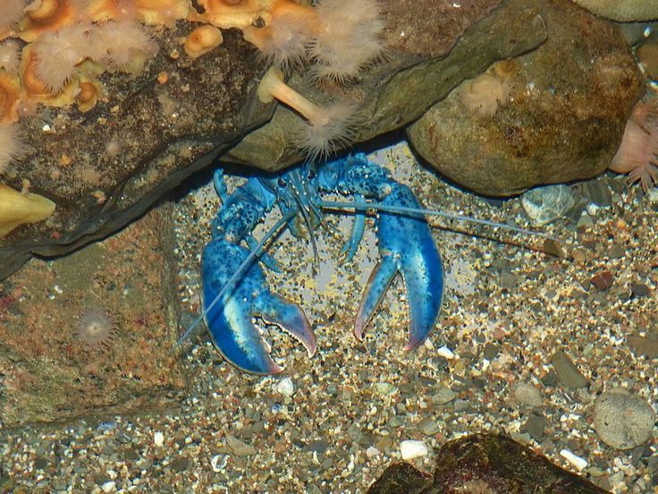http://faaxaal.forumgratuit.ca/t180-homard-americain-homarus-americanus-american-lobster