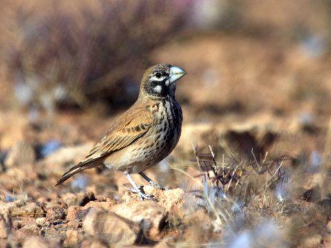 Thick-billed Lark by David Hoddinott taken on a Rockjumper Birding Tour in Morocco.