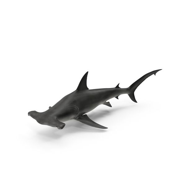 Great Hammerhead Shark images available for download as PNGs with transparency or layered PSDs on PixelSquid.com.
