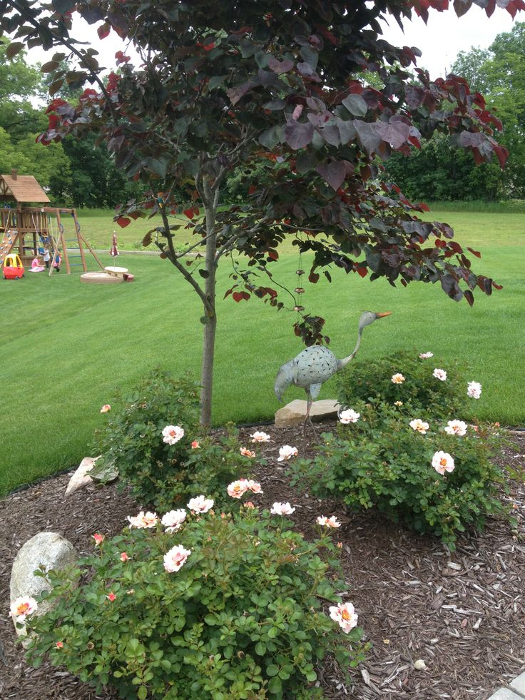 Forest Pansy Redbud And Shrub Roses Landscaping