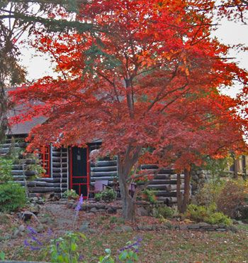 Beautiful Japanese Red Maple Tree 'Bloodgood'. One of my favorite ornamental trees. It retains its red foliage all season long.