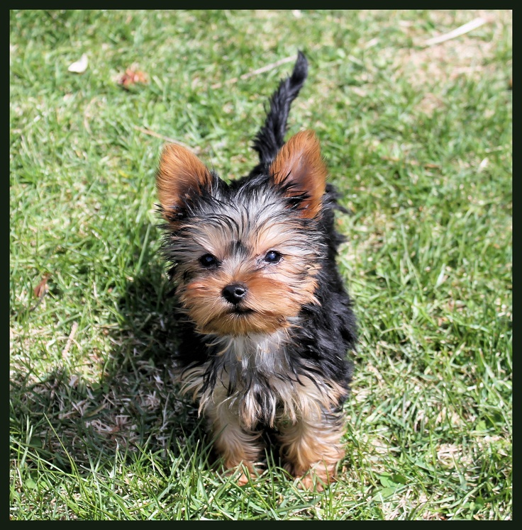 A young yorkie.  Aaaadorable.