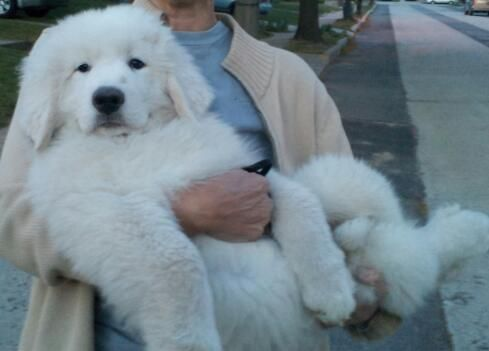 The length of the #dog is slightly longer than it is tall. The head is wedge-shaped with a slightly rounded crown and is in proportion to the rest of the body.  #GreatPyrenees