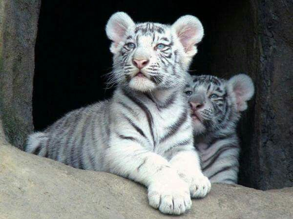 white tiger holding baby - photo #25