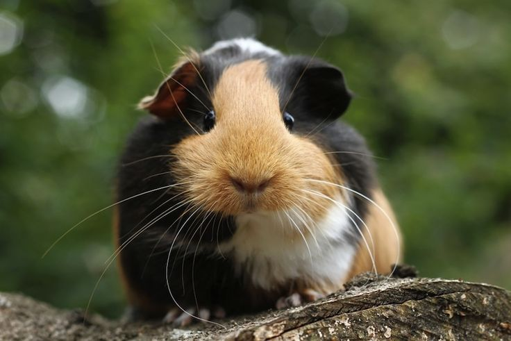 Spanish explorers brought guinea pigs back from the New World to Europe, where they were kept as exotic pets.