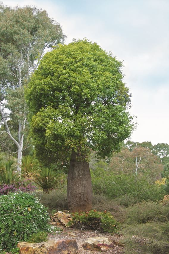 """I have fallen in love with *Brachychitons*. There are three species I recommend – *Acerfolius* (Illawarra flame tree), *Populneus* (Kurrajong tree) and *Rupestris* (Queensland bottle tree, pictured). I love their shape and their foliage, and they're quite controlled in terms of size."" – Wes Fleming, [Fleming's Nurseries](http://www.flemings.com.au/?utm_campaign=supplier/