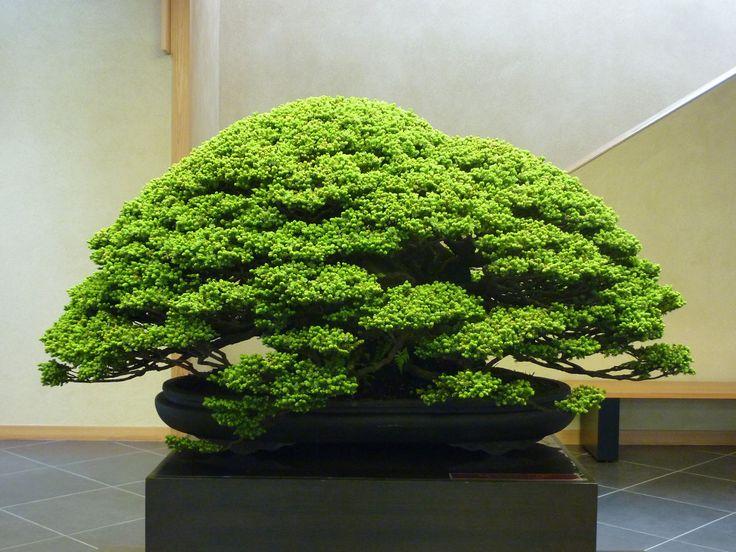 蝦夷松(千歳丸) Yezo Spruce