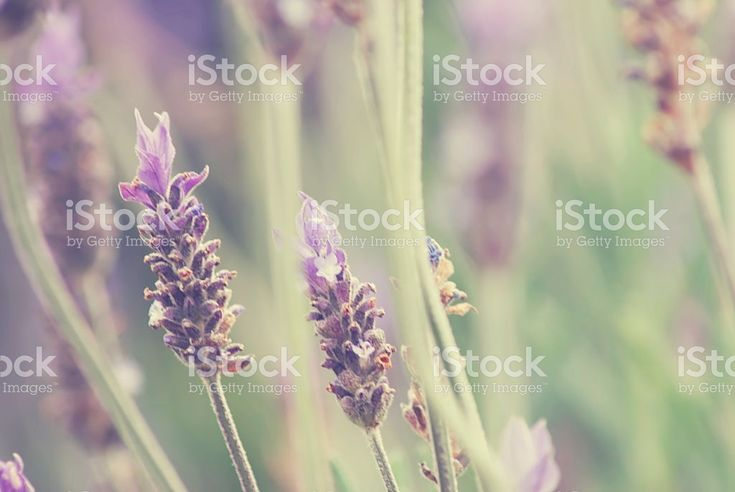 Defocussed Lavender Background royalty-free stock photo