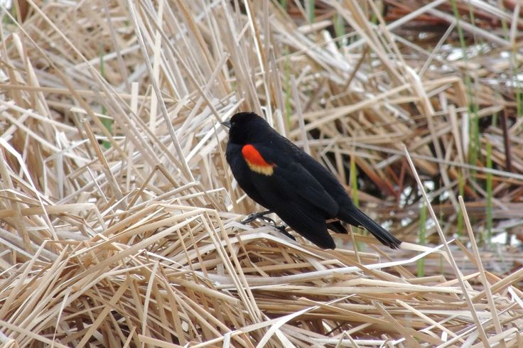 Red-Winged Blackbird ©Steve Frye. Wild Bird Company - Boulder, CO. Saturday Morning Bird Walk at Sombrero Marsh - April 18, 2015.