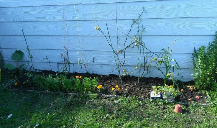 Veggie garden, New Zealand, end of April. Tomatoes nearly over, carrots growing well. Corn and pumpkin didn't do to well in this garden.