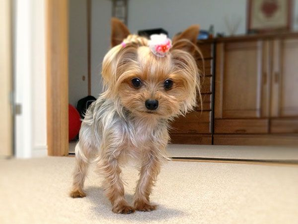Yorkie Hairstyles: 25 Best Yorkie Haircuts Images On Pinterest