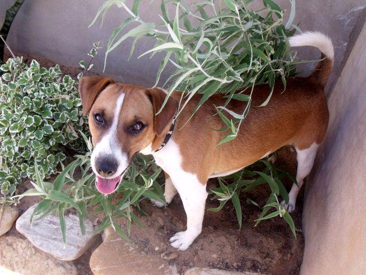 Jock looking for mischief in my garden