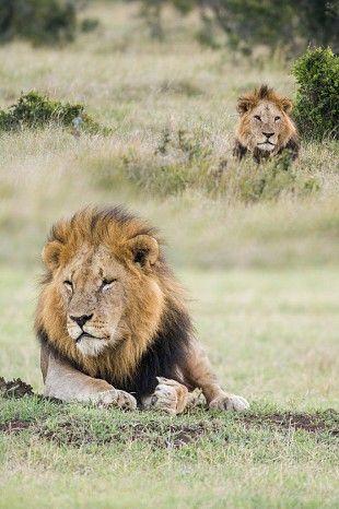 Coalition of lion brothers #Kenya #safari