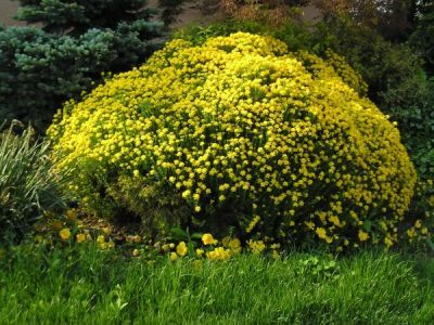 Arbuste Japonais Fleur Jaune Idee D Image De Fleur