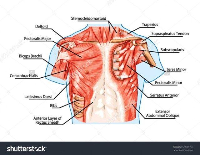 Human Chest Anatomy Diagram Koibana Info Human Muscle Anatomy Human Body Anatomy Muscle Anatomy