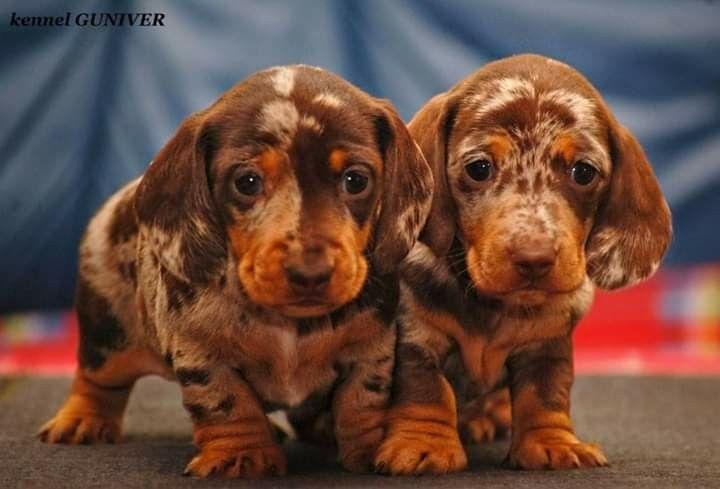 Dachshund Puppies Dachshund Puppies Weenie Dogs Dachshund