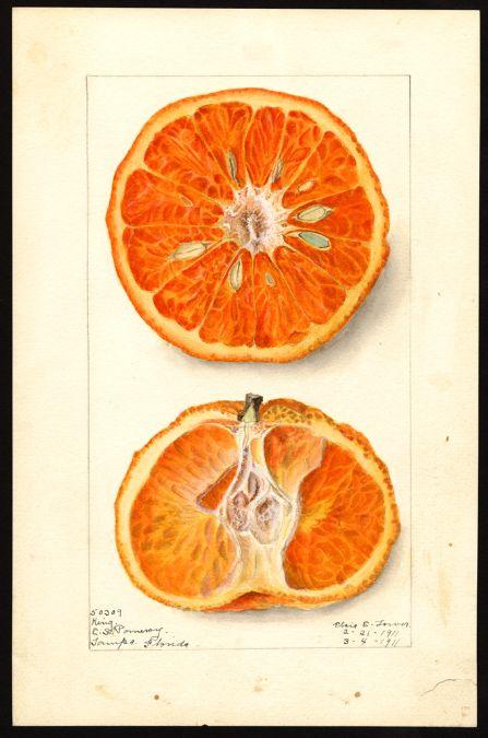 "heaveninawildflower:  Citrus nobilis(tangors). Watercolour (1911)by Elsie E. Lower. ""U.S. Department of Agriculture Pomological Watercolor..."