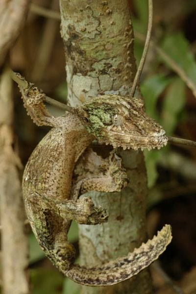 "Mossy Leaf-Tailed Gecko. Visit on Facebook: ""Animals are Awesome"". Animals, Wildlife, Pictures, Photography, Beautiful, Cute."