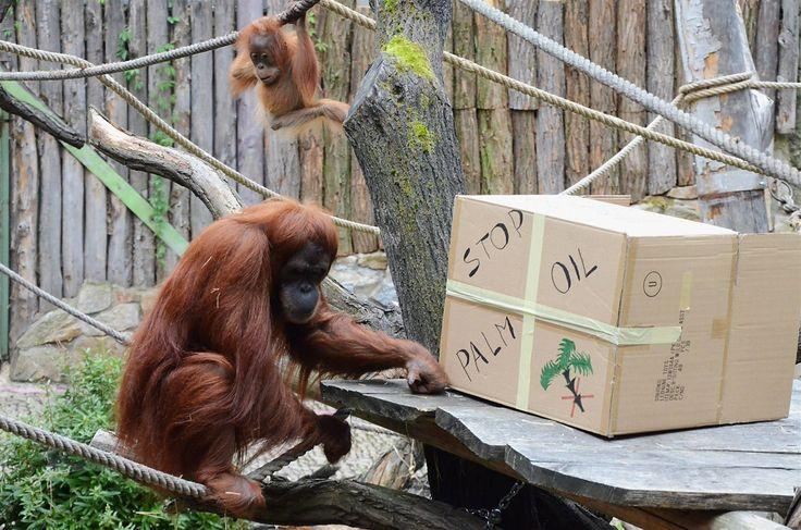 Těžba dřeva a především rozrůstající se plantáže palmy olejné jsou důvodem, proč je orangutan sumaterský (na snímku samice Mawar s mládětem v pražské zoo) kriticky ohroženým druhem. Zbývá zhruba 7 tisíc jedinců tohoto druhu.