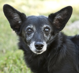 Julius is an adoptable Terrier Dog in Lawrence, KS. Julius is a 9 year old,corgi/terrier mix with a solid black coat. She is spayed and weighs just under 17 pounds. She is a sweet little dog and may d...