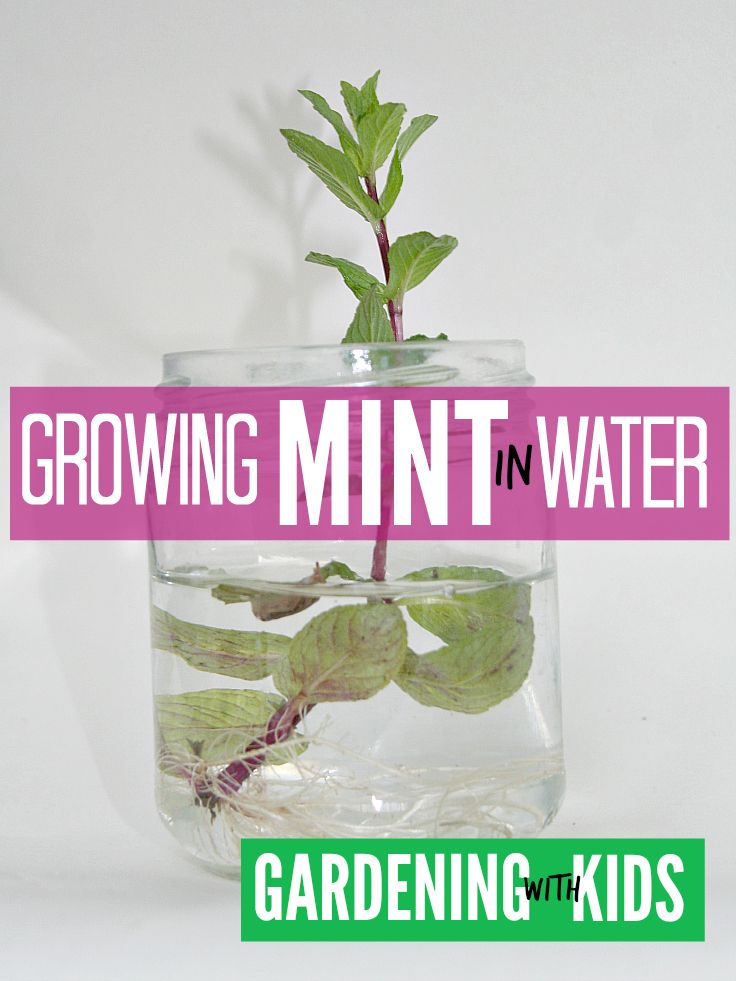 Kids gardening fun ... growing mint in water lets kids see how some cut plants will re-root in water and is the best way to start mint from cuttings