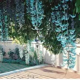 mudas da trepadeira jade azul