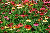 Pianta perenne - Echinacea Purpurea-Hybr 'Cheyenne Spirit'