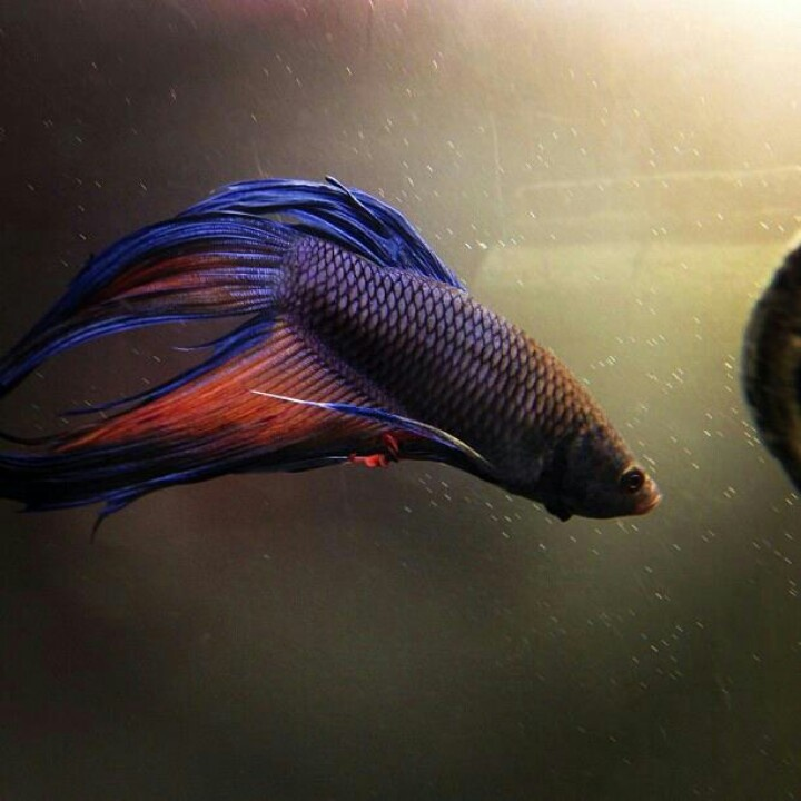 17 best images about beta fish on pinterest for What is a beta fish