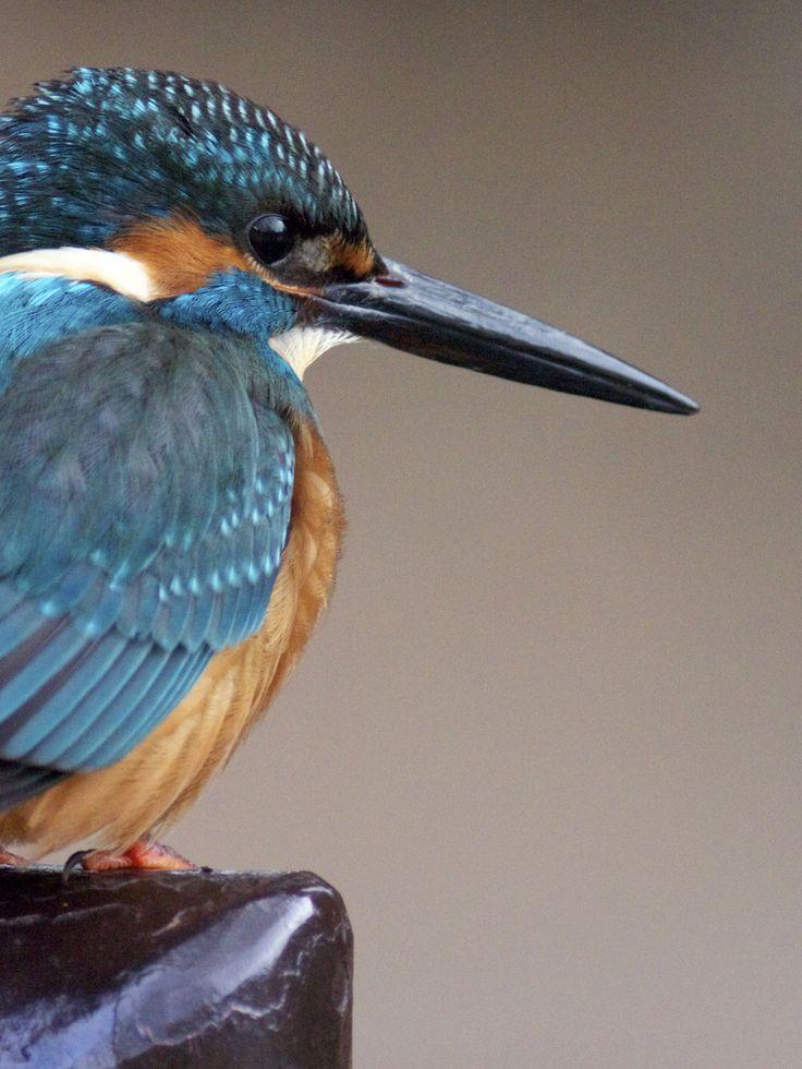 Kingfisher #2