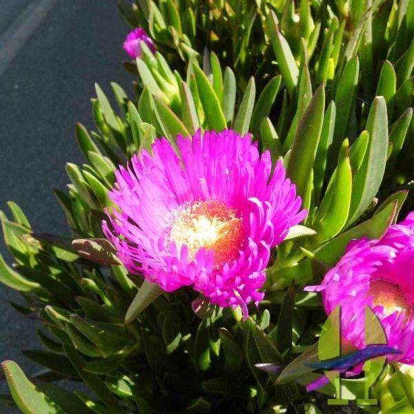 Carpobrotus edulis rose ou Griffe de sorcière rose Carpobrotus edulis est une plante tapissante remarquable en