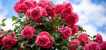 How to Trim Rose Bushes   eHow