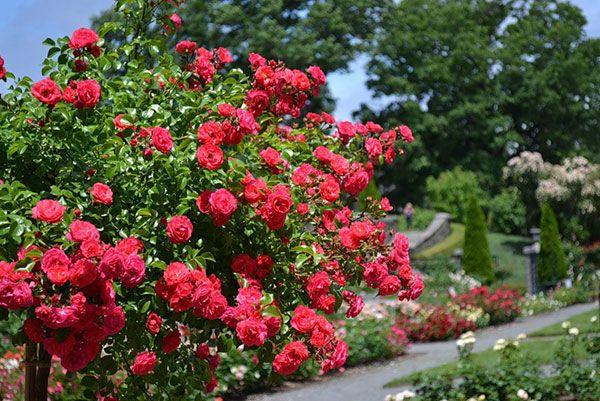 Топ 9 сортов роз, которые могут цвести все лето — Мир Растений