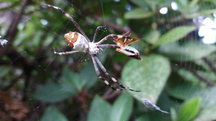 Uma aranha matando um besouro