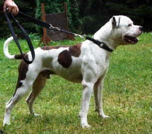 American Bulldog - Chance from Homeward Bound II: Lost in San Francisco