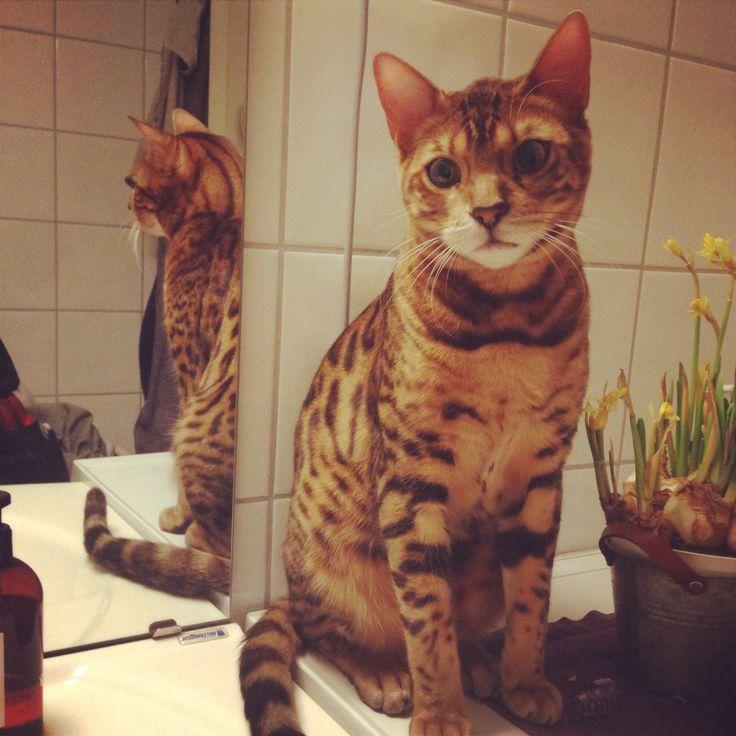 Ailo bengal cat