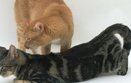 All About Cat   Tazesiru Cat's House  Siklus Birahi Pada Kucing Betina Siklus birahi pada kucing betina umumnya dimulai pertama kali ketika kucing sudah berumur 5 bulan, atau pada saat kucing betina berat badannya mencapai 2,5 kg. Biasanya kucing yang siklus birahinya dimulai pada umur 5 bulan