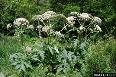 Giant Hogweed sap can cause severe burns if the sap gets on your skin and it's exposed to sunlight. This is considered an invasive species.