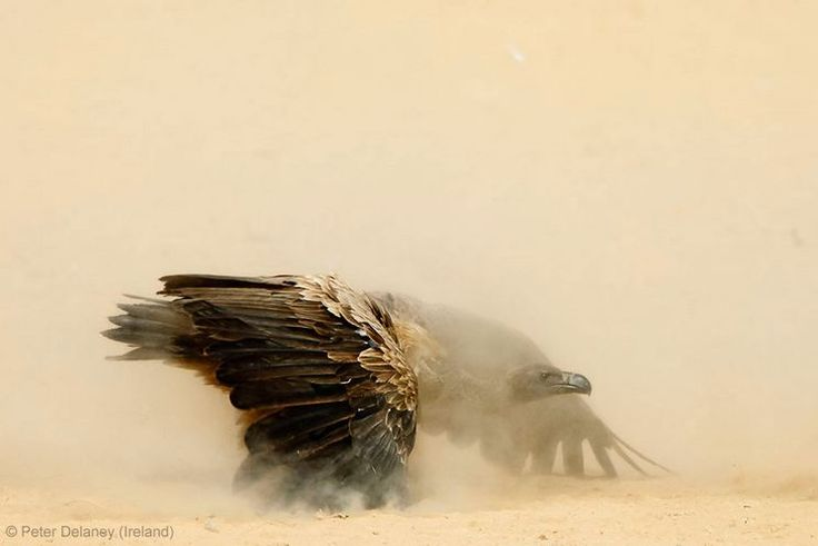 BBC Wildlife Awards 2013 - ANIMAL PORTRAITS - JOINT RUNNER-UP: 'Showdown' by Peter Delaney