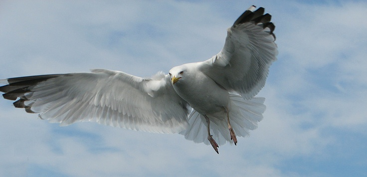 http://www.kalastakalajoella.fi/ Picture: Olli Pirkola #nature #bird #wildlife #finland #kalajoki #seagul #luonto