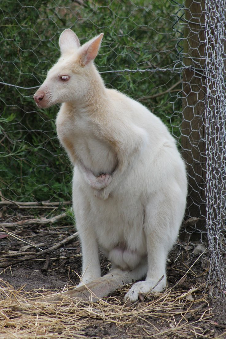 Albino kangaroo at Peel Zoo.
