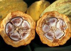 """So sieht die aufgeschlagene Frucht des Kakaobaums aus: im Inneren das weiße Fruchtfleisch (""""Pulpa"""") mit den Samen, den späteren Kakaobohnen...."""