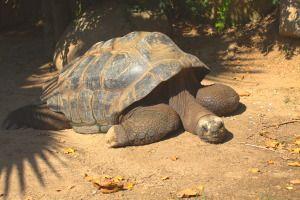 Reptiles. Foto de tortuga gigante en el Zoo de Barcelona.