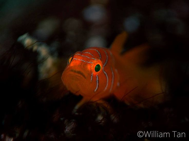 Orange Convict Goby (Priolepis vexilla), definitely a good guy with his charming blue facial stripes.  #TheGoodTheBadandTheUgly #Lembeh #Diving #Underwaterphotography  Photo by William Tan