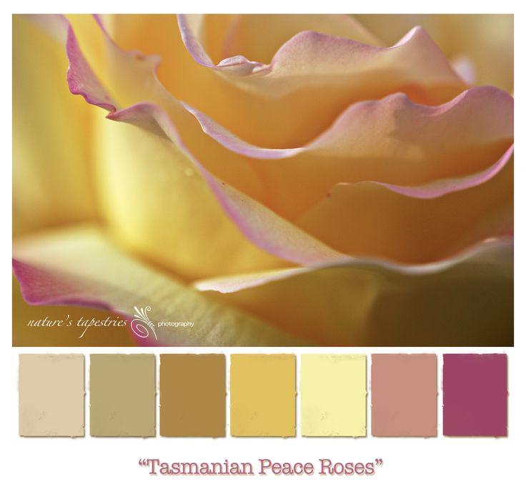 Peace Rose, City Park Launceston, Tasmania - Australia