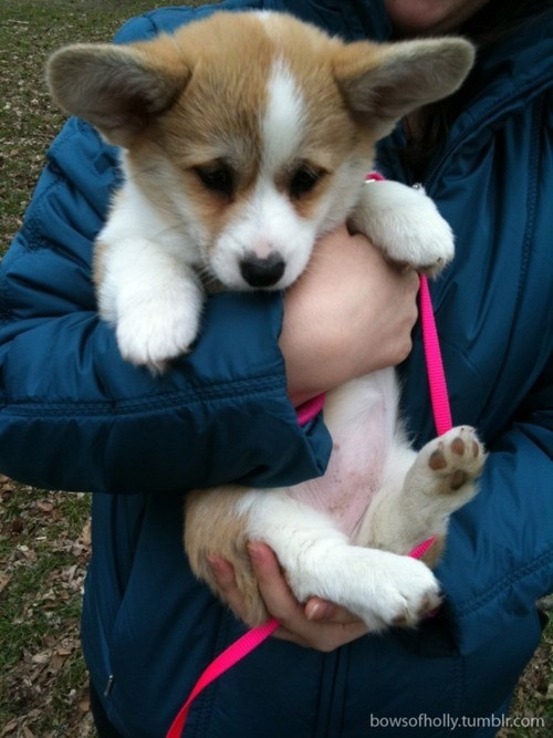 Corgi! I can't wait to get one that looks just like this!