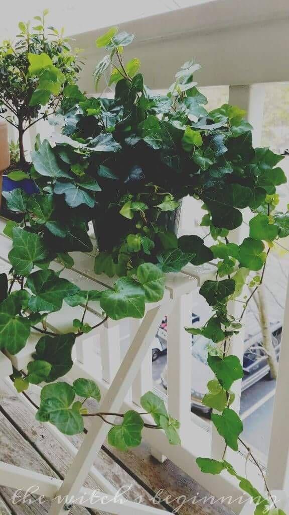 Новый дом - новый завод  Хедера хеликс (Плющ ака английском языке)  Это отличное комнатное растение и помогает фильтровать токсины воздуха внутри вашего дома; как формальдегид, коксобензол, ксилол, и плесень! Просто урезать, если он становится слишком большим для вашего пространства. Держать вдали от...