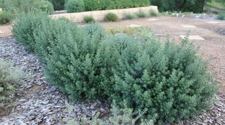 These westringias - 2 of them might be good for the top garden bed as the back filler below the trees... maybe with a large rock in front to contrast and then a grast in front of that - Ozbreed Aussie Box® - Native Shrubs and Groundcovers Range