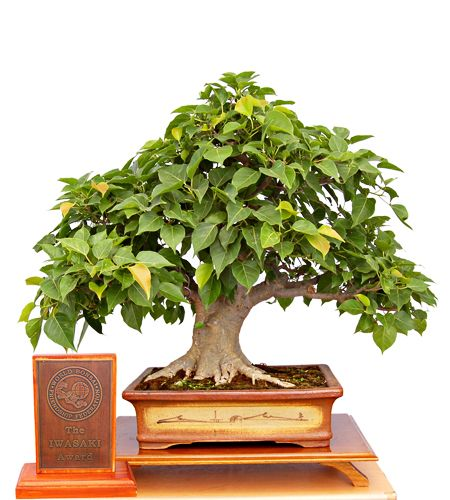 Bonsai: Ficus religiosa (sacred fig, Bo-Tree, Peepal), broom style, approximately 25 years old
