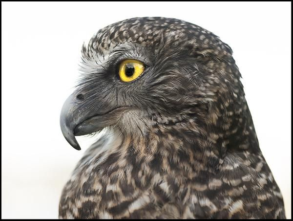 Nangaw, Powerful Owl  - bird photography print by nature photographer and wildlife carer Angela Roberston-Buchanan. #lifebetterwithart